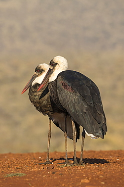 Woolly necked stork, Ciconia episcopus,  Zimanga private game reserve, KwaZulu-Natal, South Africa