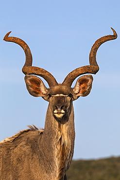 Greater kudu, Tragelaphus strepsiceros,  Addo Elephant national park, Eastern Cape, South Africa