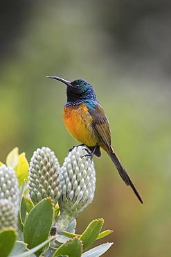 Orangebreasted sunbird, Anthobaphes violacea,  Kirstenbosch National Botanical Garden, Cape Town, South Africa