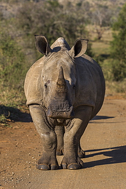 White rhino, Ceratotherium simum,  iMfolozi game reserve, KwaZulu-Natal, South Africa