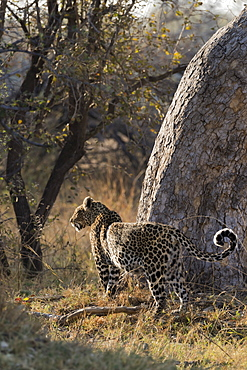 Pregnant leopard, Panthera pardus,  Khwai conservancy, Botswana, Southern Africa