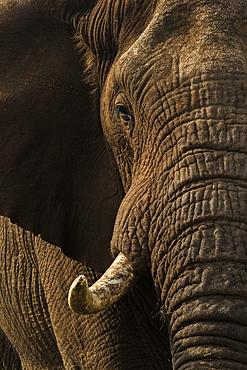 African elephant bull (Loxodonta africana), Zimanga private game reserve, KwaZulu-Natal, South Africa, Africa