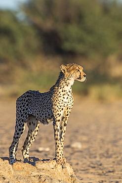 Cheetah (Acinonyx jubatus), Kgalagadi Transfrontoer Park, South Africa, Africa