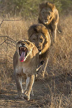 Lion (Panthera leo) pride on the move, Zimanga private game reserve, KwaZulu-Natal, South Africa, Africa