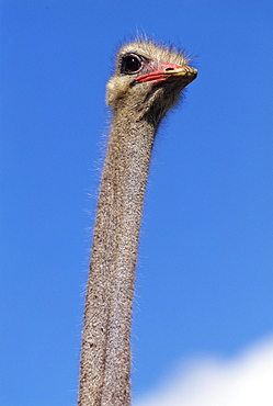 Close-up of an ostrich (Struthio camelus), Cape Peninsula National Park, South Africa, Africa