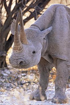 Black rhinoceros (Diceros bicornis), Etosha, Namibia, Africa