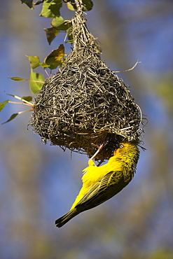 Cape weaver, Ploceus capensis, at nest, Western Cape, South Africa, Africa