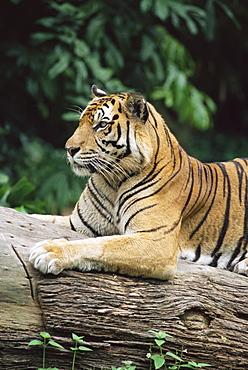 Sumatran tiger, Panthera tigris sumatrae, grows up to 120 kg, in captivity at Singapore zoo, Singapore, Southeast Asia, Asia