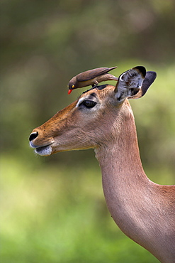 Female impala, Aepyceros melampus, with redbilled oxpecker, Buphagus erythrorhynchus, in Kruger national park, Mpumalanga, South Africa