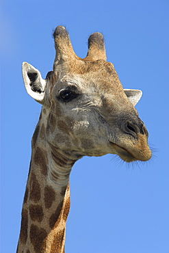 Giraffe, Giraffa camelopardalis, in Kruger national Park, Mpumalanga, South Africa