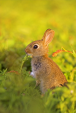 Young rabbit, Oryctolagus cuniculas, Isle of May, Firth of Forth, Scotland