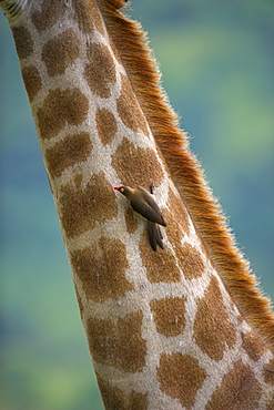 Redbilled oxpecker (Buphagus erythrorhynchus), on giraffe, Kruger National Park, South Africa, Africa - 743-455