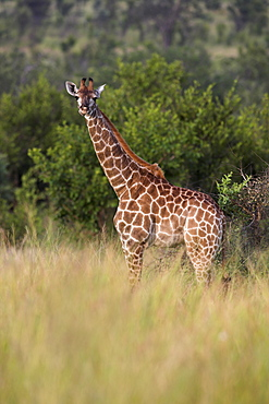 Giraffe (Giraffa camelopardalis), young, Kruger National Park, Mpumalanga, South Africa, Africa