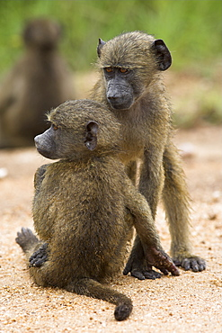 Young chacma baboons (Papio cynocephalus ursinus) playing, Kruger National Park, Mpumalanga, South Africa, Africa