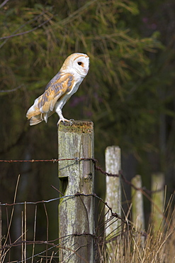 Barn owl (Tyto alba), captive, United Kingdom, Europe