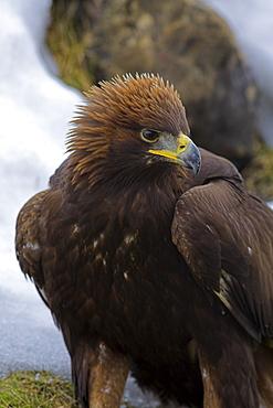 Golden eagle (Aquila chrysaetos), in snow, captive, United Kingdom, Europe