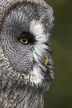 Portrait of a great grey owl (Strix nebulosa), captive, United Kingdom, Europe - 743-499