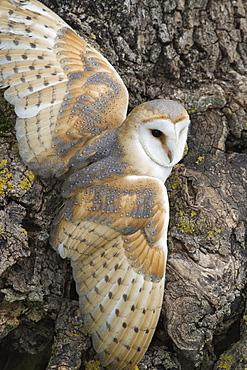 Barn owl (Tyto alba), captive, Cumbria, England, United Kingdom, Europe