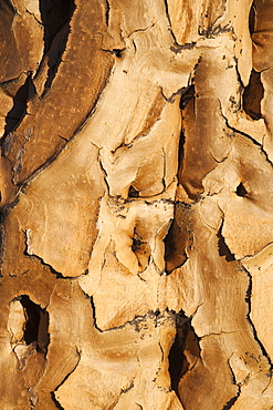 Quiver tree bark (Aloe dichotoma), Quiver tree forest, Keetmanshoop, Namibia, Africa