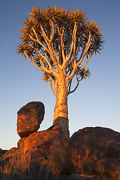 Quiver tree (Aloe dichotoma), Quiver tree forest, Keetmanshoop, Namibia, Africa