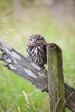 Little owl (Athene noctua), captive, United Kingdom, Europe