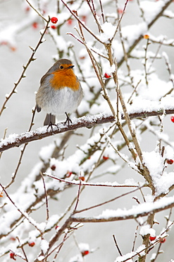 Robin (Erithacus rubecula), with berries in snow, United Kingdom, Europe