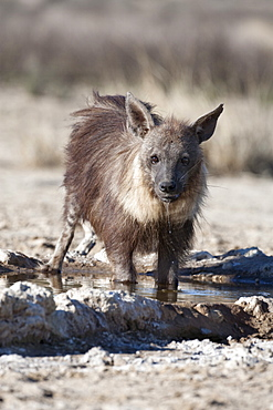 Brown hyena (Hyaena brunnea) drinking, Kgalagadi Transfrontier National Park, Northern Cape, South Africa, Africa