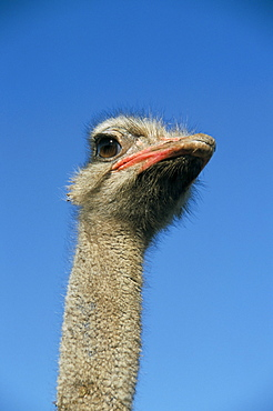Ostrich (Struthio camelus), captive in ostrich breeding farm, Cumbria, England, United Kingdom, Europe