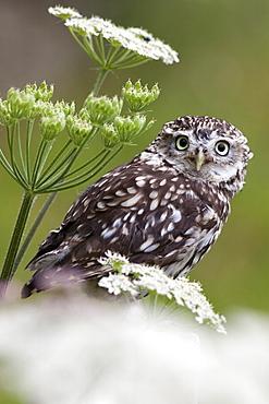 Captive little owl (Athene noctua), United Kingdom, Europe