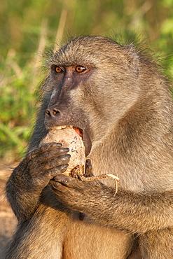 Chacma baboon (Papio cynocephalus ursinus), eating fruit of Sausage Tree (Kigelia africana), Kruger National Park, South Africa, Africa