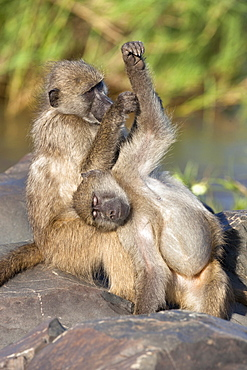 Chacma baboons (Papio cynocephalus ursinus), grooming, Kruger National Park, South Africa, Africa