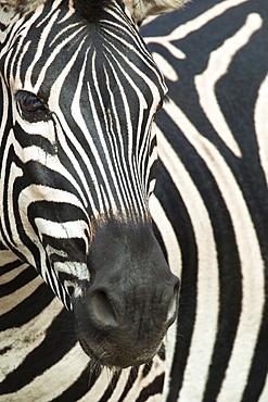 Burchell's (plains) zebra (Equus burchelli), Mhkuze Game Reserve, KwaZulu Natal, South Africa, Africa
