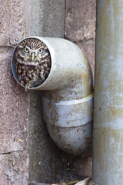 Little owl (Athene noctua) in drainpipe, captive, United Kingdom, Europe