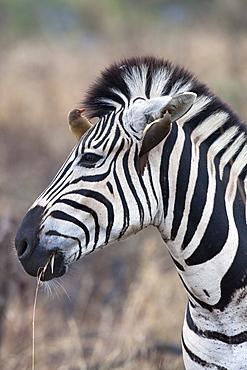 Zebra (Equus burchelli) with redbilled oxpeckers (Buphagus erythrorhynchus), Imfolozi game reserve, KwaZulu-Natal, South Africa, Africa