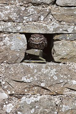 Little owl (Athene noctua) captive, United Kingdom, Europe