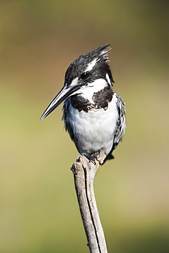 Pied kingfisher (Ceryle rudis), Intaka Island, Cape Town, South Africa, Africa