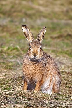 Brown hare (Lepus europaeus), Islay, Scotland, United Kingdom, Europe