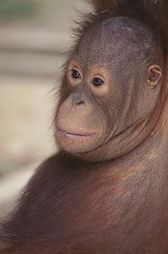Orang-utan baby, Borneo, Southeast Asia, Asia