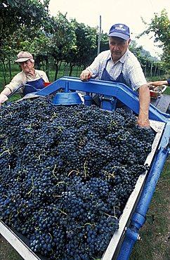 Harvesting in Cantina d'Isera, Marano d'Isera, Trentino, Italy