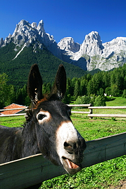 Donkey and (On the background) Pale di San Martino mountain chain, Trentino Alto Adige, Italy