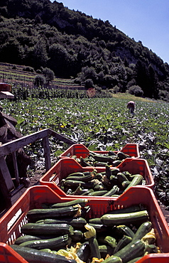 Marrow field, Val di Gresta, Trentino Alto Adige, Italy