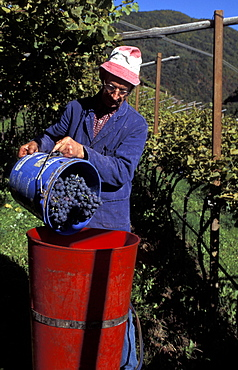 Grape harvest, Val di Cembra, Trentino Alto Adige, Italy