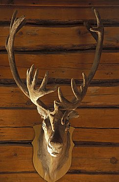 Hunting trophy, Levi, Lappland, Finland, Europe
