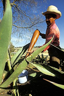 Extraction of Pulque juice, Mexico, Central America, America