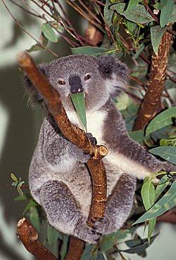 Koala, New South Wales, Australia