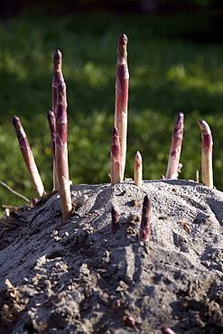 Asparagus, Zambana, Trentino, Italy