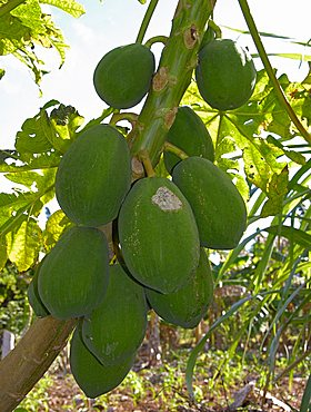 Papaya fruit, Dominican Republic, West Indies, Central America