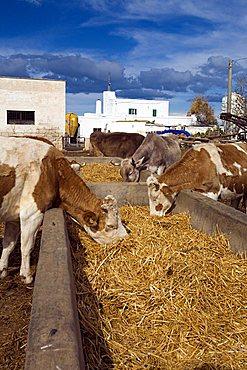 Cows, Zootechnical farm, Ostuni, Puglia, Italy