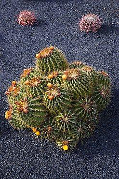 Cactus garden designed by Cesar Manrique Guatiza, Ferocactus echidne,  Lanzarote, Canary Islands, Spain