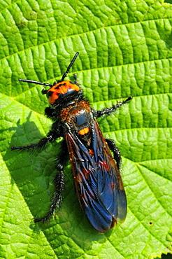Scolia maculata